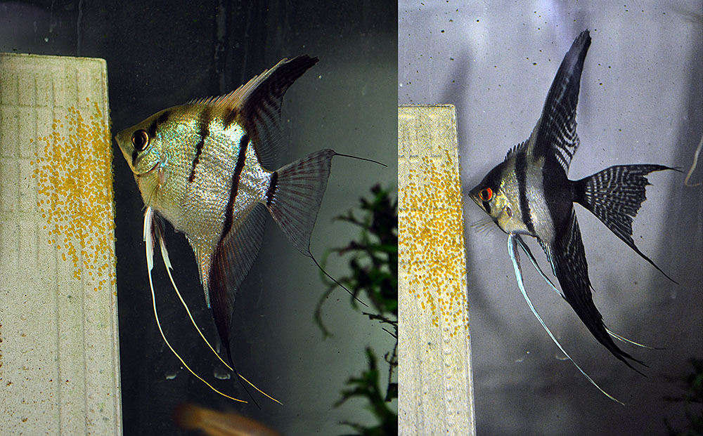 Female (left) 50% wild Silver, and Male (right) Haflblack Silver Veil Angelfish tending one of their first nests.