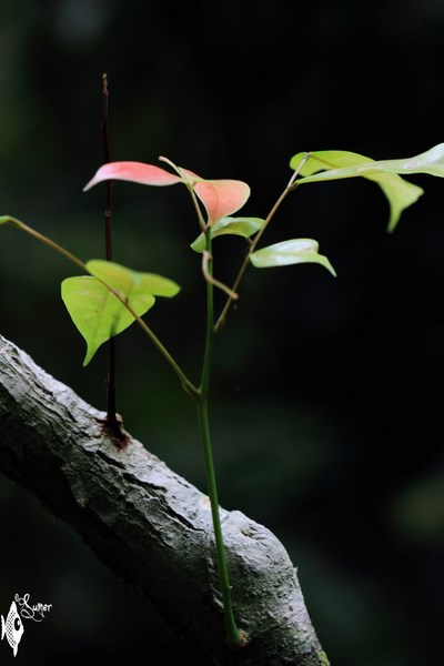 In deep rainforest, light is a scarcity. A misguided ray of light becomes an opportunity that gives birth to a new leaflets.