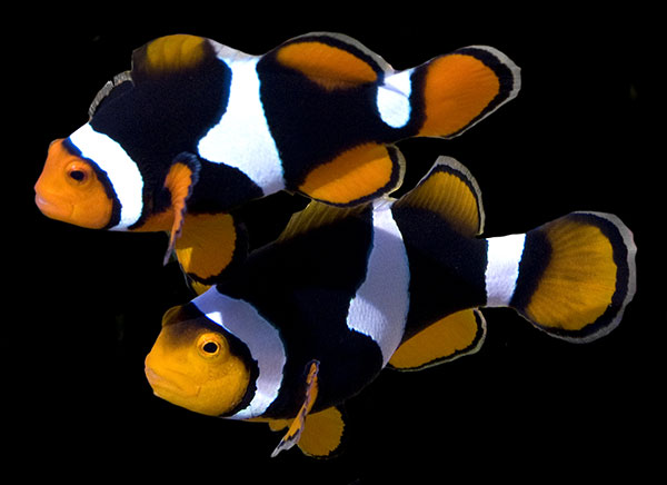 Amphiprion percula, at the heart of a proposed ESA listing but a captive-bred staple of the marine aquarium trade.