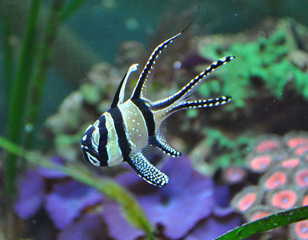 The Banggai Cardinalfish, Pterapogon kauderni, does have a deplorable track record with the aquarium trade, but it seems efforts are already underway to finally rectify those past mistakes.