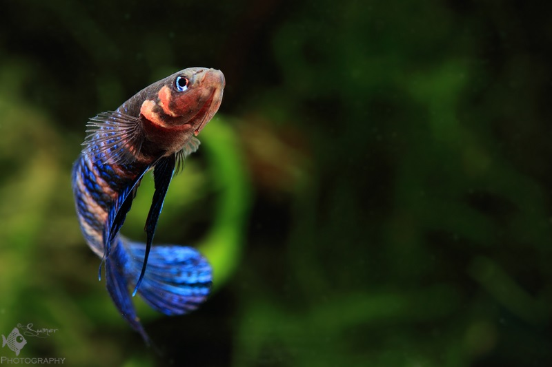 When waiting for food, the male usually starts swimming in swirling manner.