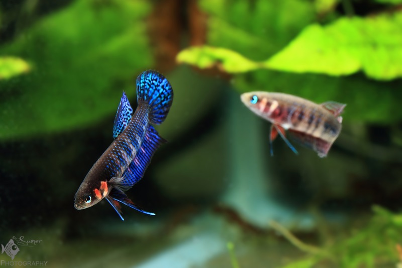 Betta hendra pair (male at left) waiting for the food to be dropped in the tank