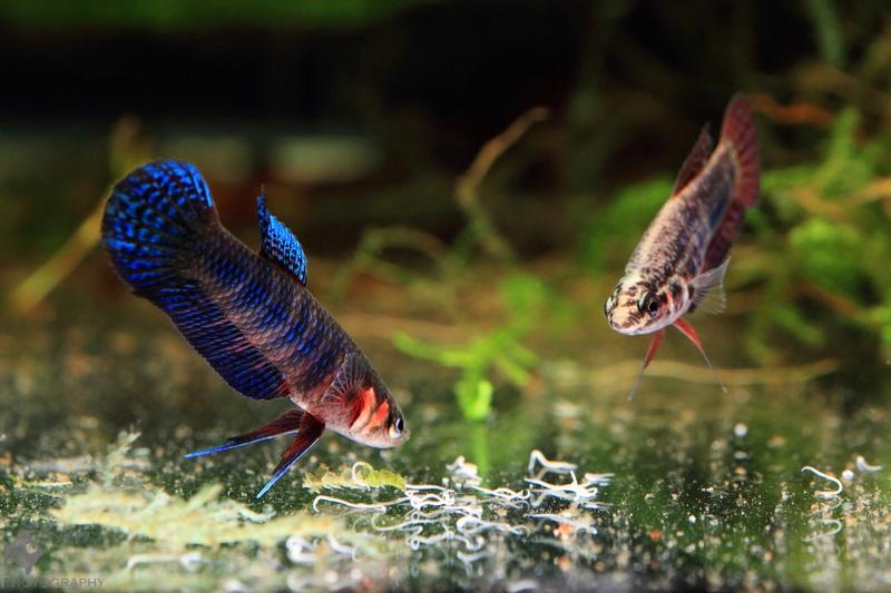 Betta hendra pair eating grindal worms