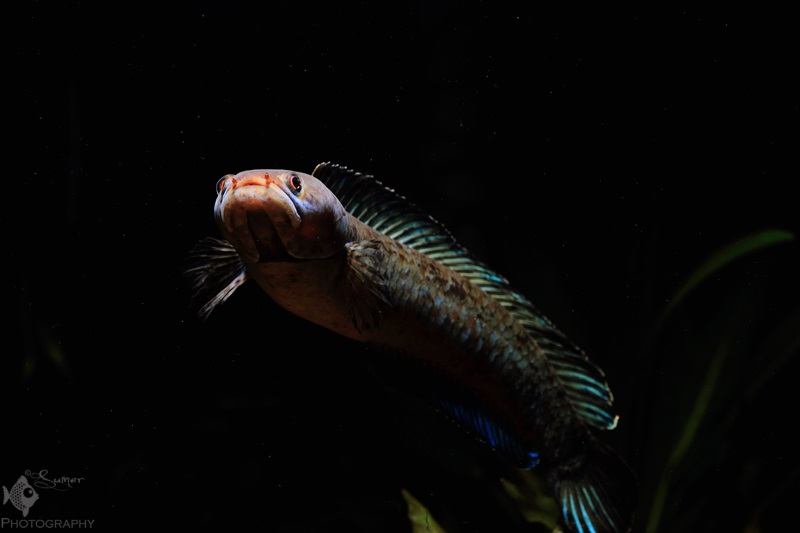 They make great addition to any small to midsize fishroom because of thier manageable size. They don't grow bigger than 10-12 centimeters.