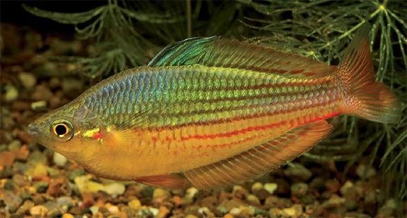 """Melanotaenia sp. """"Dekai"""", now described as M. garylangei. Image by Gary Lange."""