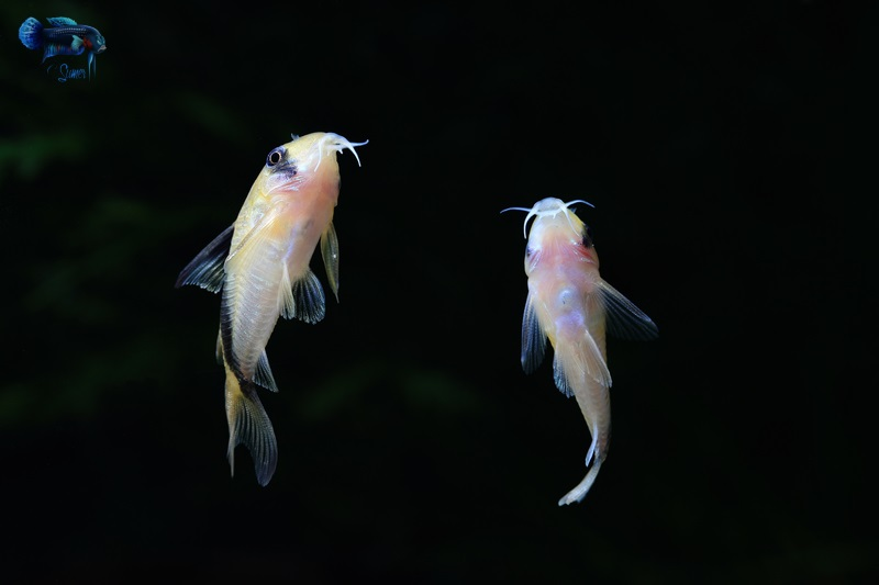 I have spent countless hours watching them swim in the water. They have the most random pattern of swimming in the tank of all the fish I have kept.