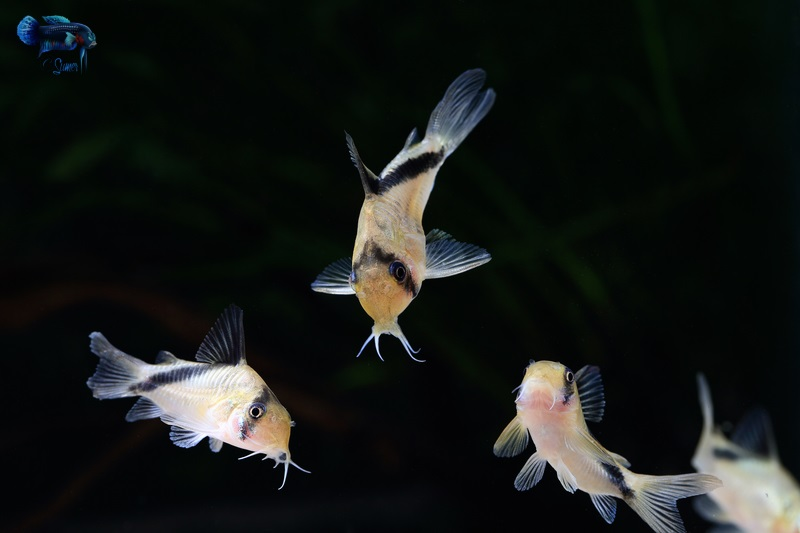 Corydoras melini group swimming in sync