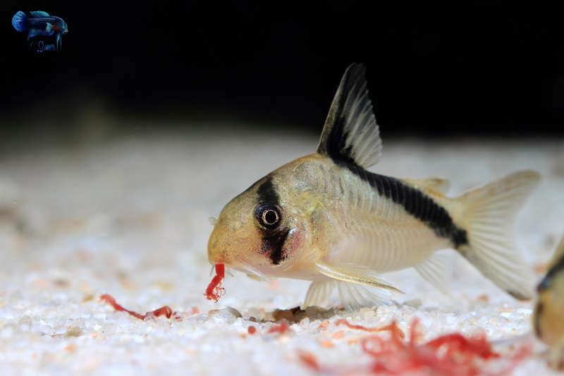 They absolutely love eating frozen bloodworms. Five fish can gobble down two cubes of bloodworms in a matter of minutes. I feed them blackworms, bloodworms, white worms, glass worms and Repashy meat pie.