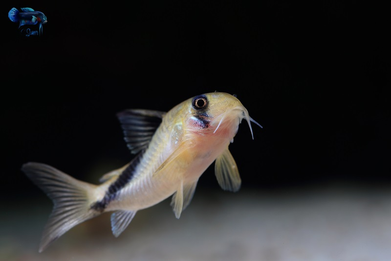 They are very peaceful and quite kind of fish.