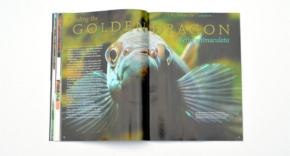 Steve Waldron provides an in-depth look at Breeding the Golden Dragon, Betta unimaculata.