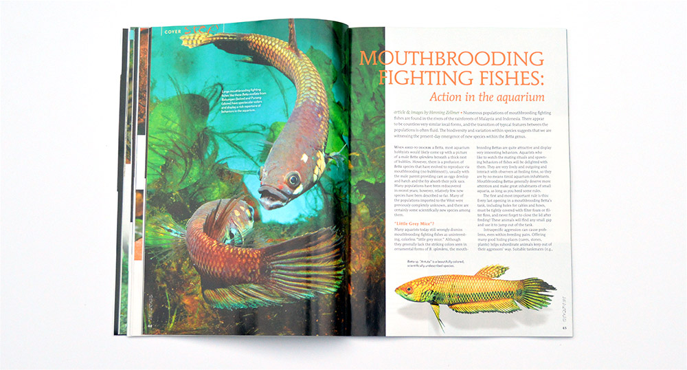 Mouthbrooding Fighting Fishes: Action in the aquarium, by Henning Zellmer, continues our look at the wild bettas.