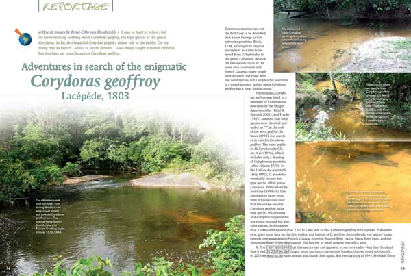 it may be hard to believe, but we know virtually nothing about Corydoras geoffroy, the type species of the genus Corydoras. Ernst-Otto von Drachenfels chases down this enigmatic catfish in French Guiana and brings us his adventure.