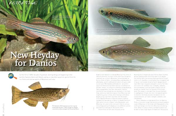 """After decades of quietude, exciting things are happening in the worlds of the genera Danio and Devario, giving us new ideal aquarium species from the rice fields and shallow waters of Myanmar and India. Learn more in """"New Heyday for Danios"""" by Ralf Britz"""