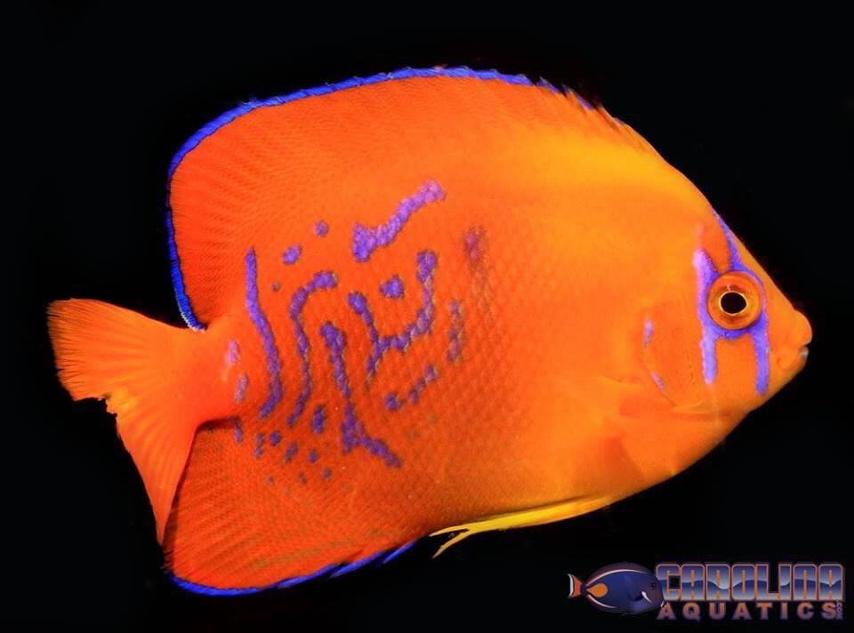Captive-bred Clarion Angelfish from Bali Aquarich, like this specimen imported by Carolina Aquatics, will now be subjected to CITES permit requirements in order to legally entry the country. Image courtesy Carolina Aquatics