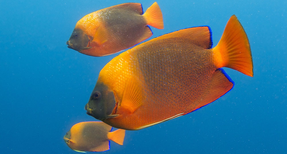 Clarion Angelfish, Holacanthus clarionensis, is a somewhat rare species in the aquarium trade, and is now afforded CITES Appendix II trade regulations. Image by Elias Levy, cropped and rotated, CC-BY-2.0