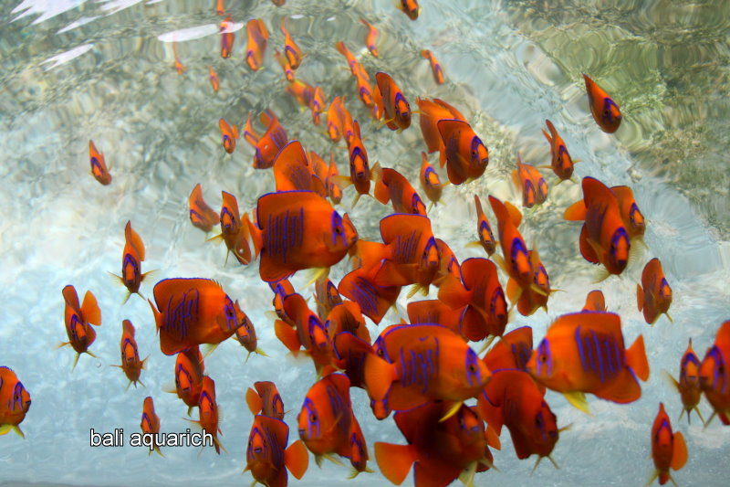 Large scale cultivation of the Clarion Angelfish by Bali Aquarich could prove an interesting wrinkle for trade regulation, considering that Mexico (who proposed the Appendix II listing) is the source country for wild Clarion Angelfishes. Image courtesy Bali Aquarich.