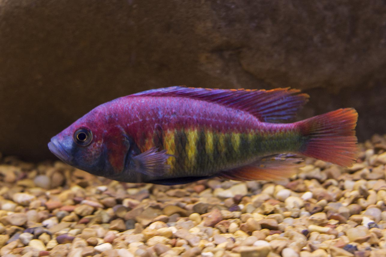 One of Lake Victoria's most colorful endemics, Pundamilia nyerei from Imperial Tropicals