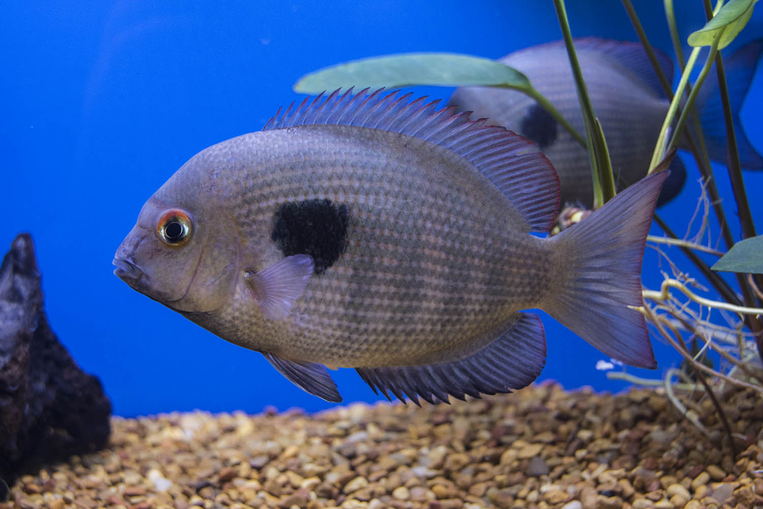 One of Madagascar's beautiful and endangered endemic cichlids, Paretroplus maculatus, on display from Old World Exotic Fish