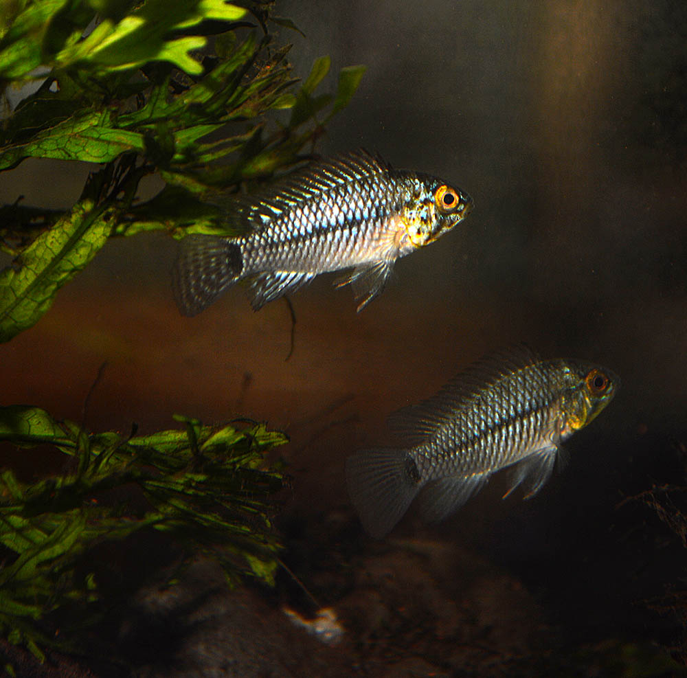 This does not fit my general conception of Apistogramma agassizii. Now what?