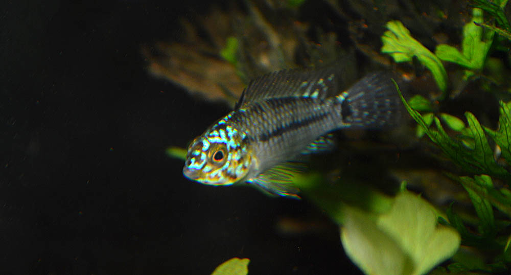 """...but it kind of seems like Apistogramma agassizii """"Neon"""" might not really exist."""