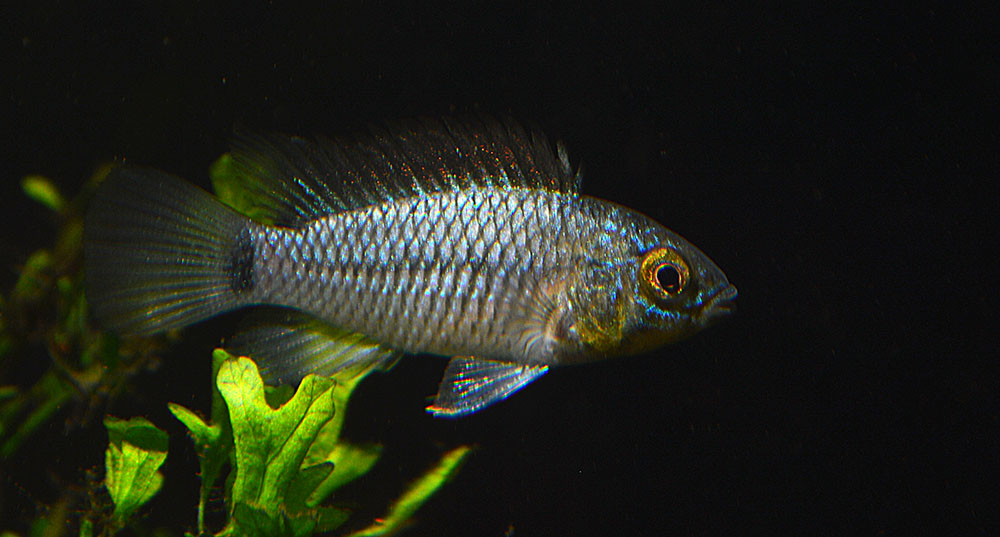 """So this was sold as Apistogramma agassizii """"Neon""""..."""