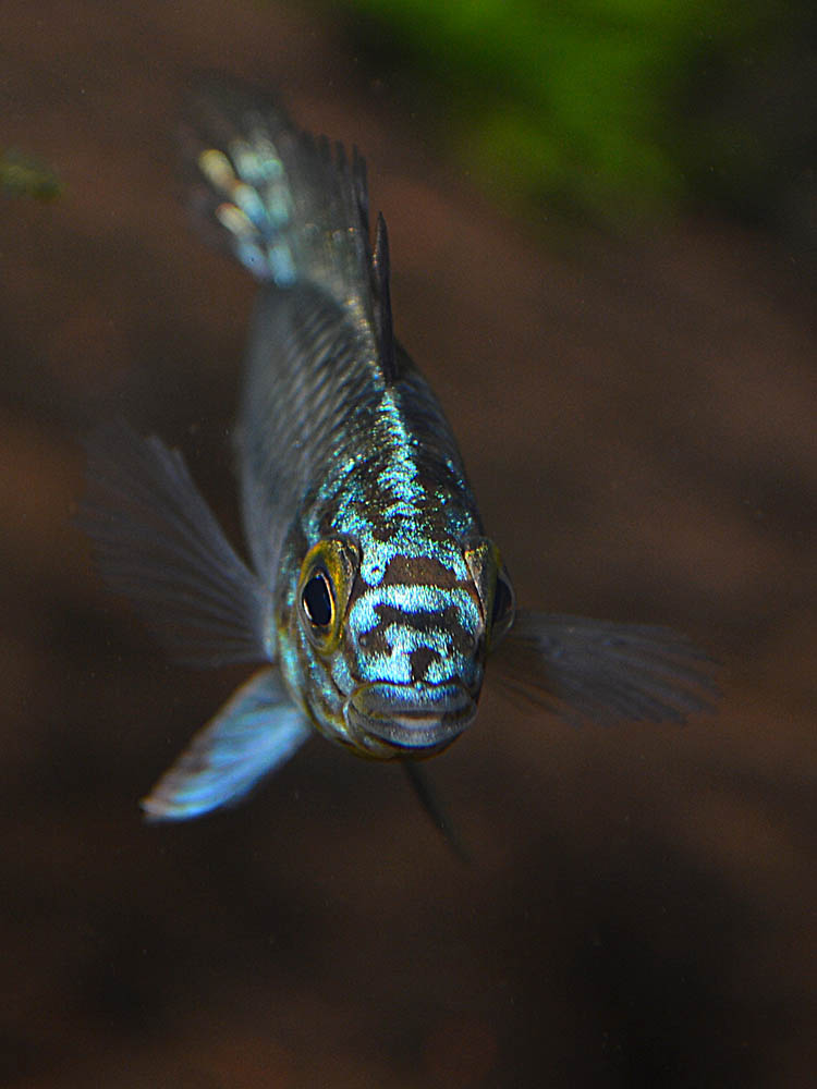 """Definitely not shy, at least in my fishroom, it looks like these mystery Apistos are the fish best known as Apistogramma sp. """"Steel Blue"""""""