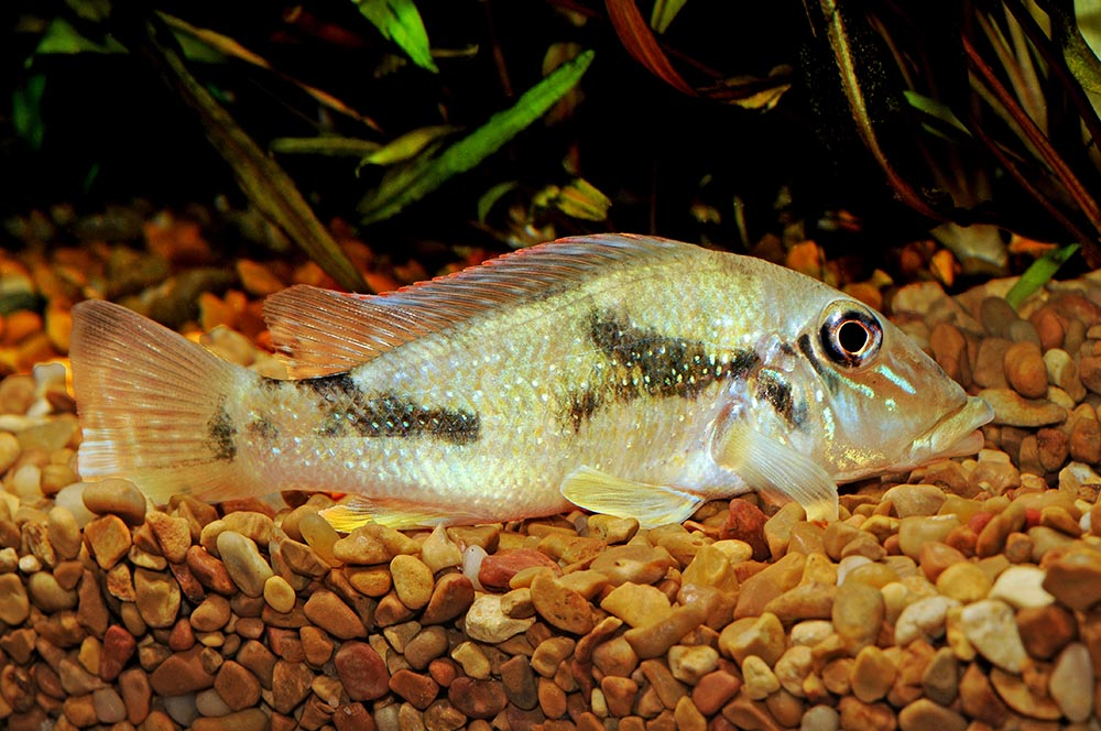 <em>Retroculus lapidifer</em>: this rarely-imported South American cichlid is a bottom-oriented denizen of fast-moving water. Image Credit: Mike Jacobs