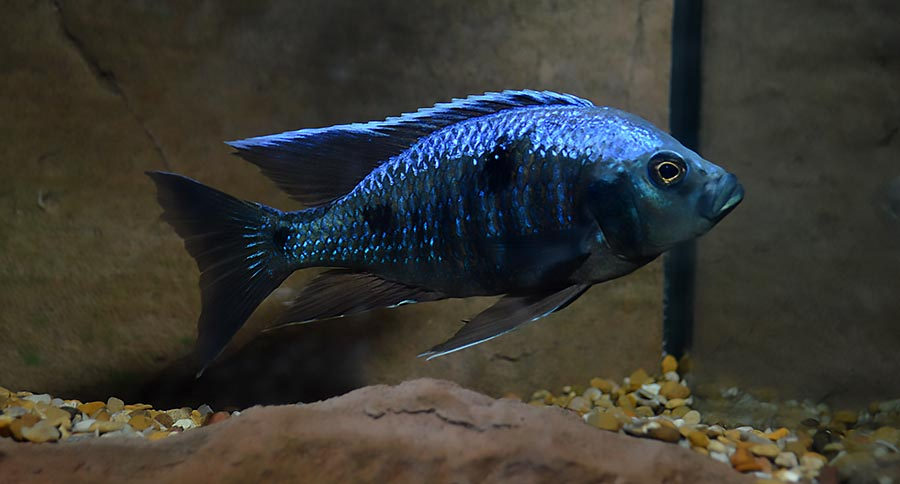 According to the American Cichlid Association's recent statement, there is a time and a place for wild aquarium fisheries. Shown here: A lovely Malawian Cichlid, the Ivory Head Mloto, Copadichromis trewavasae, in non-breeding dress. Image credit: Matt Pedersen
