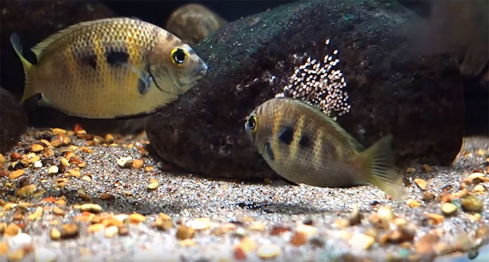 A pair of the rare Canara Pearl Spot Cichlid, Etroplus canarensis, tending a clutch of eggs.