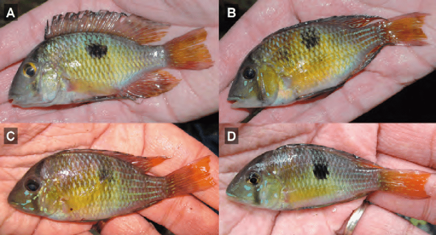 From the paper: Gymnogeophagus taroba, coloration of live specimens immediatelly after capture. (A-B) IBIGEO-I 449, paratype specimens, 87.8 mm, 79.8 mm. (C-D) MLP uncat., Říčan et al., February 2014, data as holotype.