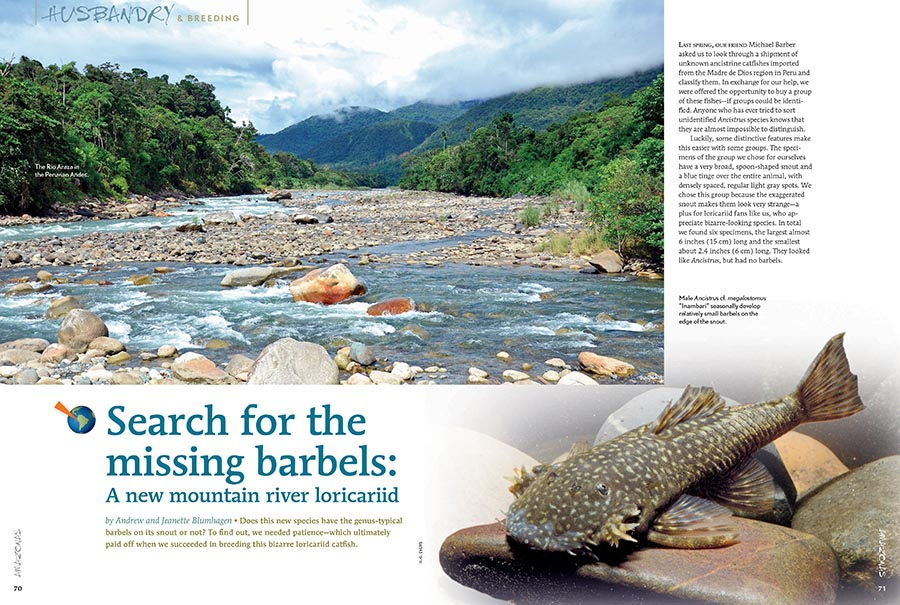 Andrew and Jeanette Blumhagen investigate and breed a bizarre new mountain river loricariid catfish that may, or may not, have barbels.