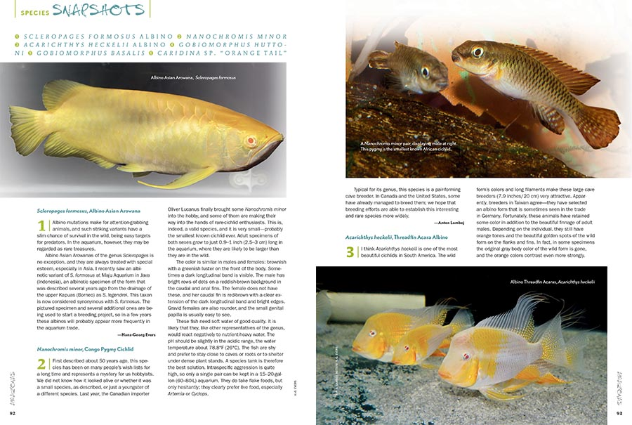 """AMAZONAS Magazine's must-read Species Snapshots illuminates everything new and gaudy, trendy or timeless, or simply overlooked and under-appreciated in the global aquarium trade. This issue's installment returns with a wide range of coverage, including a striking Albino Asian Arowana (Scleropages formosus) being put into cultivation, Africa's smallest known dwarf cichlid, the Congo Pygmy Cichlid (Nanochromis minor), the albino form of the Threadfin Acara (Acarichthys heckelii), two unqiue freshwater gobies from New Zealand, the Redfin Bully (Gobiomorphus huttoni) and Cran's Bully (Gobiomorphus basalis), and we close with a recent discovery that may represent a new species, the Orange Tail Bee Shrimp from Indonesia,Caridina sp. """"Orange Tail."""" All of this exclusively in the newest issue of AMAZONAS Magazine."""