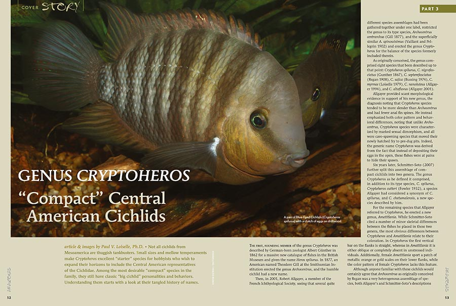 """Paul V. Loiselle, Ph.D. suggests that small sizes and mellow temperaments make Cryptoheros excellent """"starter"""" species for hobbyists who wish to expand their horizons to include the Central American representatives of the Cichlidae. Learn more in the newest issue."""