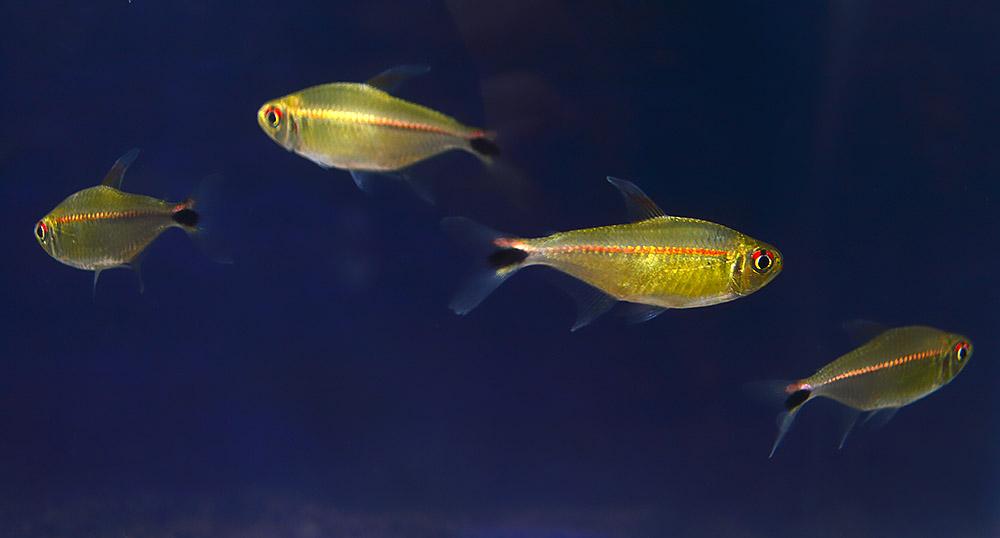 A shoal of Hemigrammus rubrostriatus on display at the 2018 Minnesota Aquarium Society Tropical Fish Show.