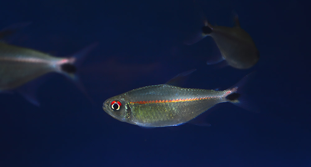 Hemigrammus rubrostriatus, an interesting and relatively new Tetra out of Colombia.