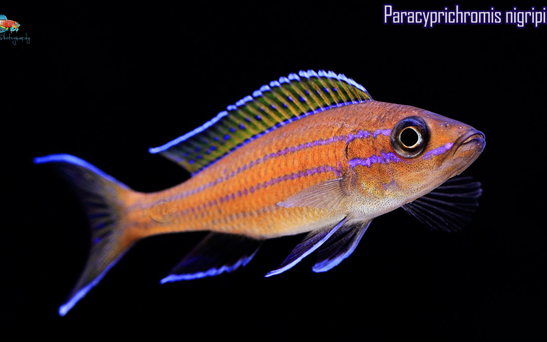Paracyprichromis nigripinnis: A Thing of Beauty