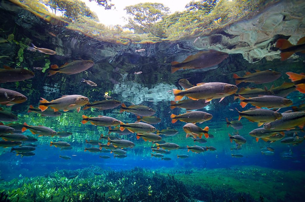 Shoal: in the sense above, a loose grouping of fish. Or, as organizers hope, a cohesive multi-organizational approach to protecting freshwaters around the globe. Shown here: Piraputanga (Brycon hilarii), Mato Grosso do Sul, Brazil © Michel Roggo
