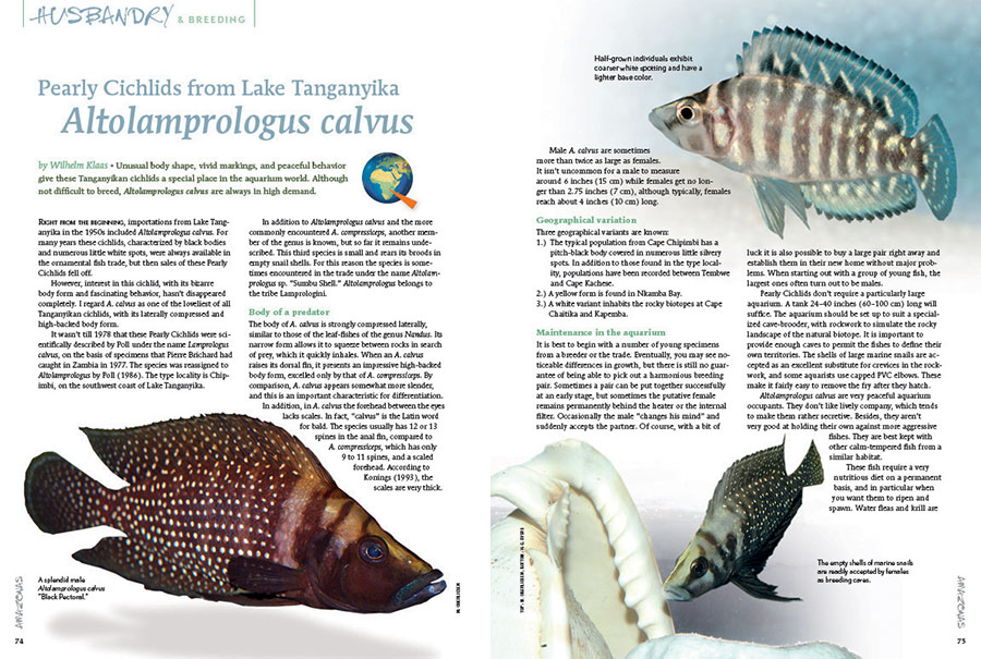 Altolamprologus calvus could be one of the most emblematic Tanganyikan cichlids. They're always in demand, so Wilhelm Klaas ensures that you'll be prepared to succeed with these special cichlids.