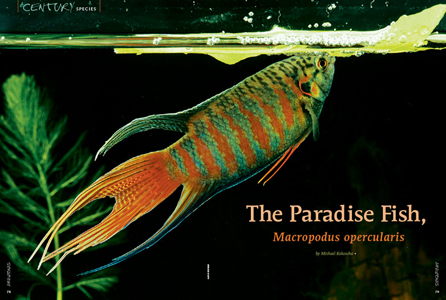 """""""If ever there was an aquarium fish that deserves to be called 'classic' it is the Paradise Fish (Macropodus opercularis)."""" Get a definitive look at this perennial favorite in the second installment of our Century Species series."""