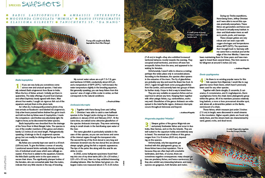 """AMAZONAS Magazine's Species Snapshots bring you the newest, hottest and most arcane freshwater aquarium fish from around the globe. Setting the international benchmark for what's in, this issue's installment includes Badis laspiophilus, Ambassis interrupta, the sleeper goby Mogurnda cingulata""""Mimika"""", the Chain Danio (Danio sysphigmatus), the Gulf Coast Pygmy Sunfish (Elassoma gilberti), and an interesting relative of the White Cloud Mountain Minnow, Tanichthys sp. """"Da Nang"""". Get all the details exclusively in the newest issue of AMAZONAS Magazine."""