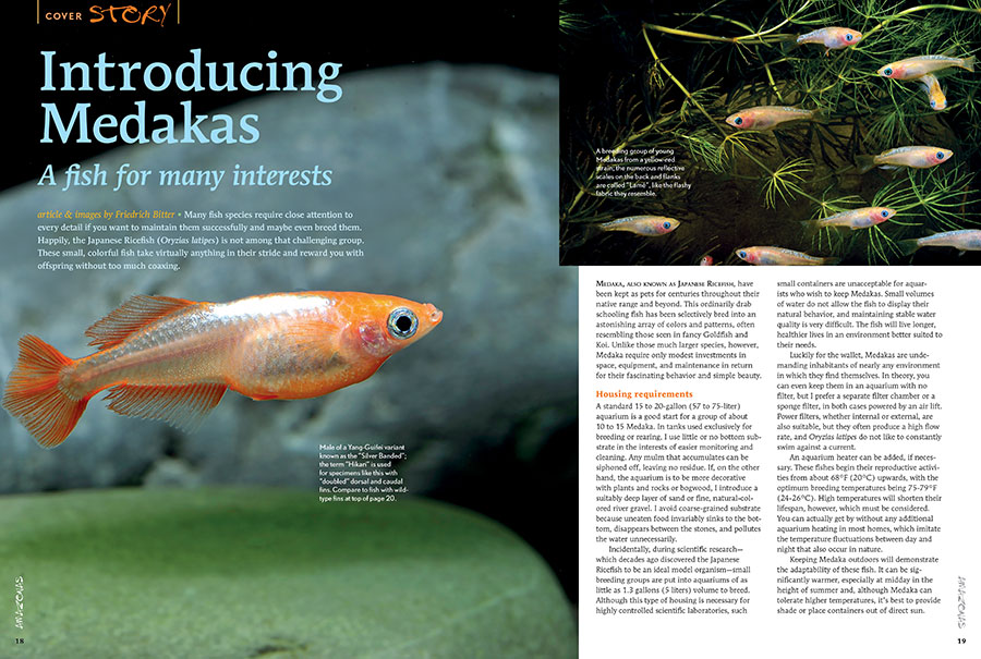 """The Japanese Ricefish (Oryzias latipes) is not among the challenging aquarium fishes. These small, colorful fish take virtually anything in their stride and reward you with offspring without too much coaxing. Interested? Read """"Introducing Medakas, A fish for many interests"""", by Friedrich Bitter."""