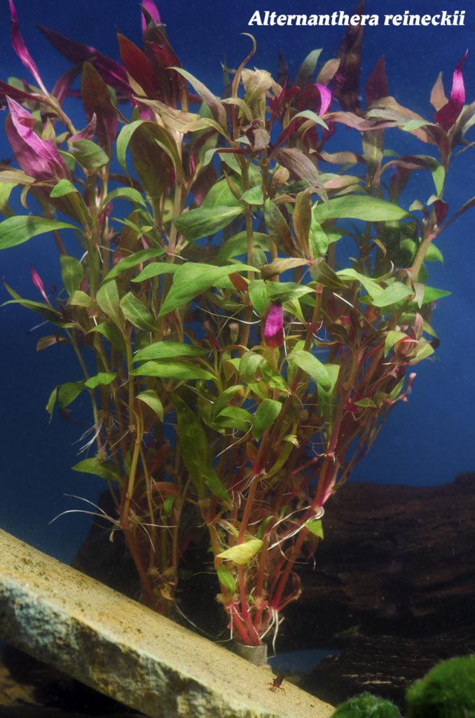 Alternatherea reineckii: Image courtesy Wet Spot Tropical Fish