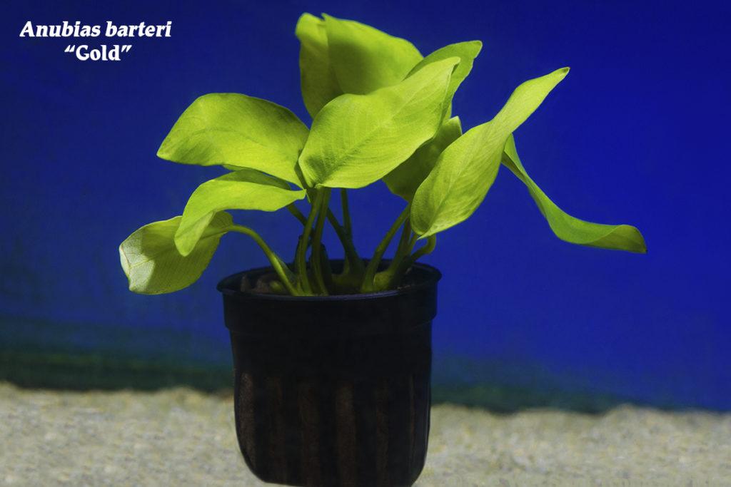 """Anubias barteri """"Gold"""", perfect for beginner and veteran aquarists alike!"""