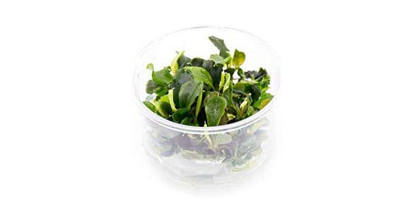 """Utilizing tissue cultured offerings of plants like this Bucephalandra sp. """"Green Wavy"""", aquascapers avoid the pitfalls of pesticides, algae and snails."""