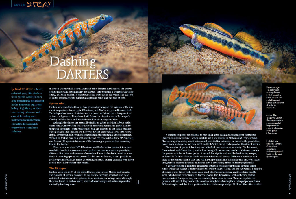 Darters live in 41 of the 50 United States, so you probably have some of these goby-like river gems right in your own backyard! Want to know more? Our AMAZONAS cover story, Dashing Darters, by Friedrich Bitter, gives hints for locations to hunt for darters and the information on how to maintain them in captivity! It can be done and we tell you how!