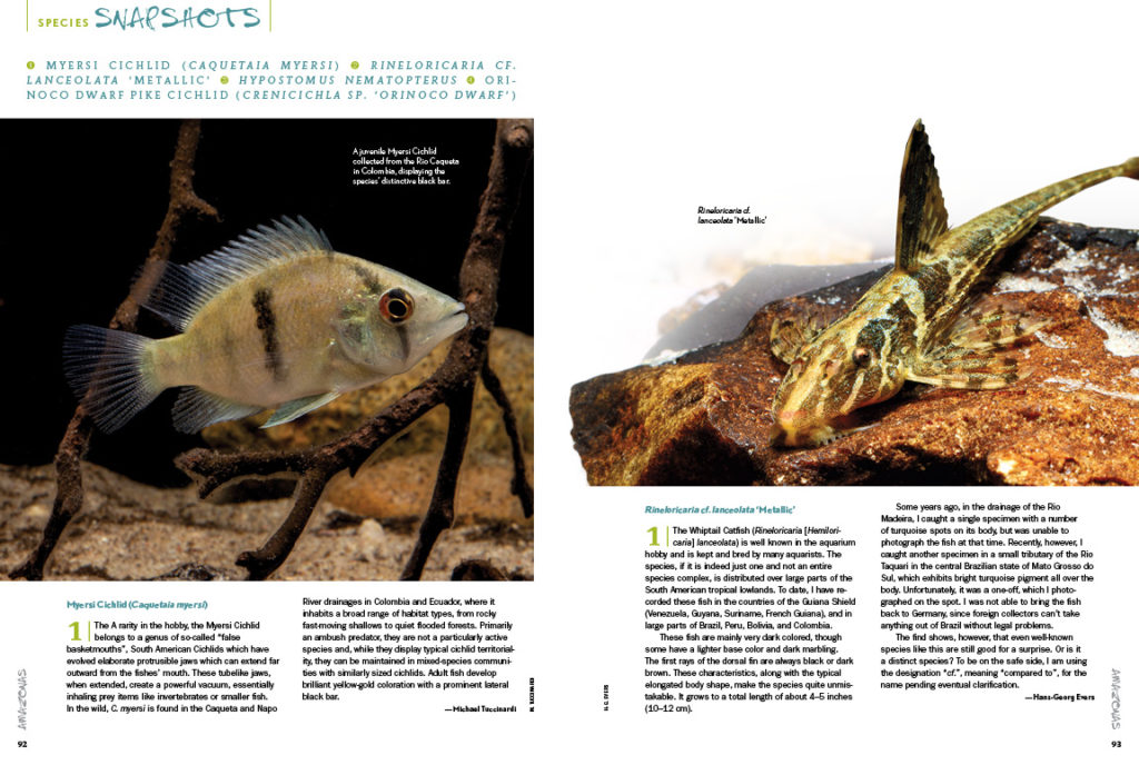 AMAZONAS Magazine's Species Snapshots bring you the newest, hottest and most arcane freshwater aquarium fish from around the globe. Setting the international benchmark for what's in, this issue's installment includes Myersi cichlid (Caquetaia myersi), Rineloricaria cf. lanceolata 'Metallic', Hypostomus nematopterus, and the Orinoco Dwarf Pike Cichlid (Chenicichla sp. 'Orinoco Dwarf'). Get all the details exclusively in the newest issue of AMAZONAS Magazine!