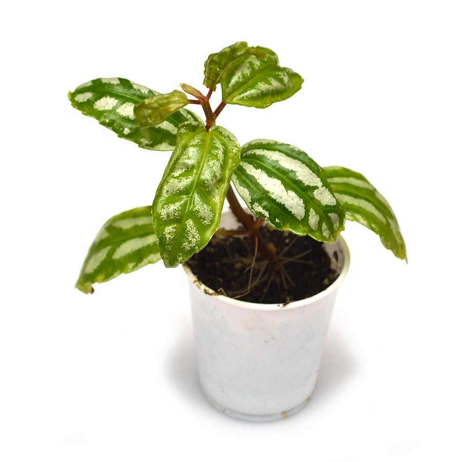 Aluminum Plant, Pilea cadierei, is generally seen in the aquarium trade as a bunch of cut stems bound together. A very poor choice for submersed use, it will excel as a riparium plant. Image courtesy Matt Pedersen.