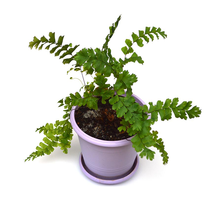 A commercially-cultured house plant being sold as the 'Rosy Maidenhair Fern', purportedly a variety of Adiantum tenerum. Image courtesy Matt Pedersen.