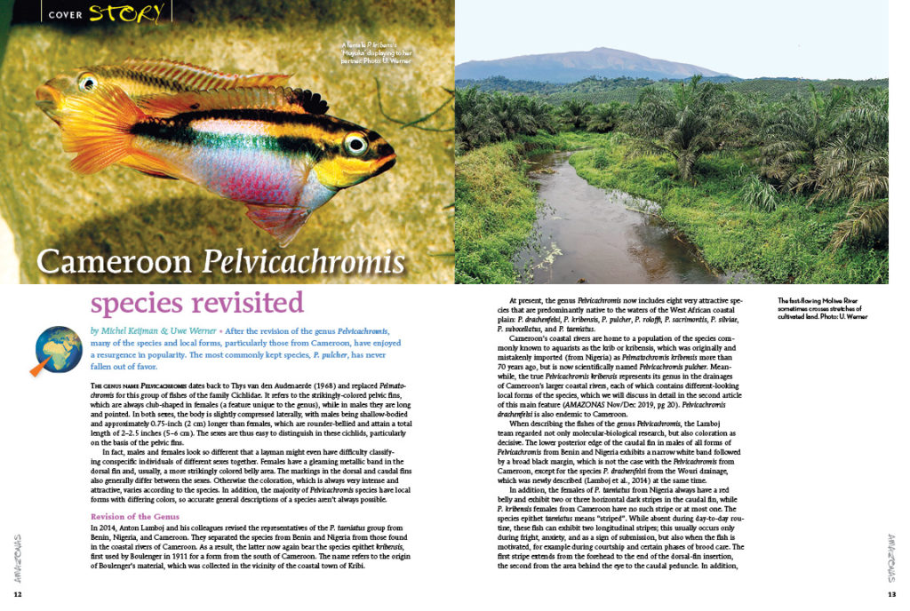 Wasting no pages, we jump into our feature content with Michel Keijman and Uwe Werner's overview of the 2014 revision to the genus Pelvicachromis, paying special attention to Pelvicachromis drachenfelsi and P. pulcher (the fish we all know to this day as the Krib or Kribensis).