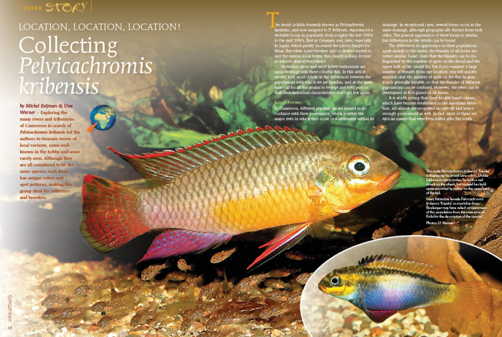 Exploring the many rivers and tributaries of Cameroon in search of Pelvicachromis kribensis lead Michael Keijman & Uwe Werner to treasure troves of local variants, some well-known in the hobby and some rarely seen.